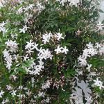 Gewone jasmijn - Jasminum officinale