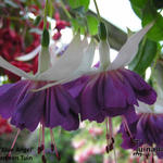 Fuchsia 'Blue Angel' - Bellenplant