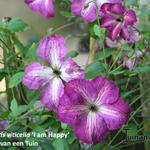 Clematis viticella 'I Am Happy' - Bosrank