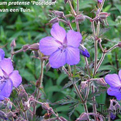 Geranium pratense 'Poseidon' -