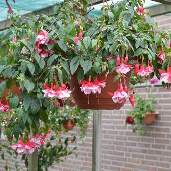 Fuchsia 'New Fascination'