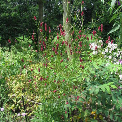 Pimpernel sanguisorba officinalis 39 pink tanna 39 for Sanguisorba officinalis red thunder