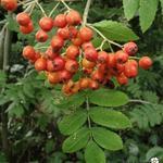 Sorbus aucuparia - Lijsterbes - Sorbus aucuparia
