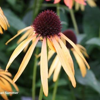 Echinacea purpurea 'Indian Summer'