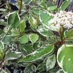 Cornus alba 'Elegantissima' - Kornoelje, witbonte kornoelje - Cornus alba 'Elegantissima'
