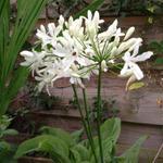 Agapanthus 'Bianca Perla' - Agapanthus 'Bianca Perla' - Afrikaanse lelie