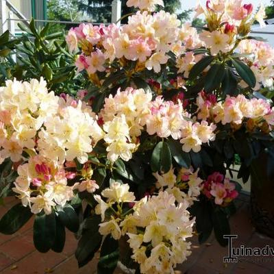 Rhododendron 'Tortoiseshell Champagne' -