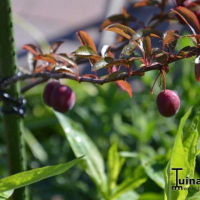 Prunus cerasifera 'Trailblazer' -