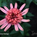 Echinacea 'SUPREME Flamingo' - Rode zonnehoed - Echinacea 'SUPREME Flamingo'