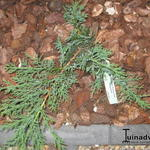 Juniperus sabina 'Rockery Gem' - Sabijnse jeneverbes, Zevenboom - Juniperus sabina 'Rockery Gem'