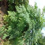 Dahlia imperialis - Dahlia imperialis - Dahlia, Boomdahlia