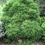 Cryptomeria japonica 'Little Champion - Heksenbezem