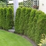 Thuja occidentalis 'Brabant' - Westerse Levensboom