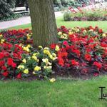 Begonia tuberhybrida  - Begonia tuberhybrida  - Knolbegonia