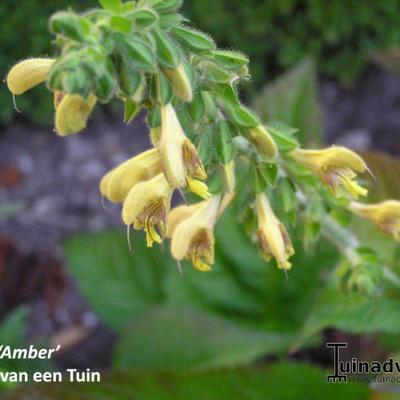 Salvia 'Amber' -