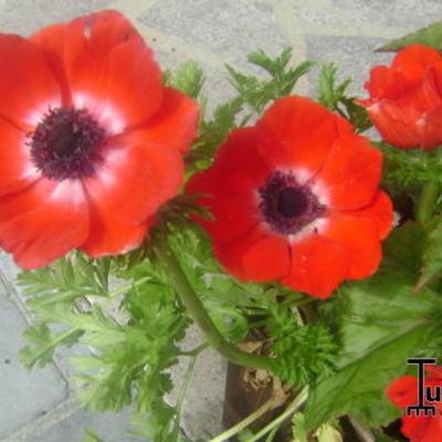 Anemone coronaria 'Hollandia' -