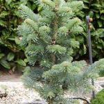 Abies lasiocarpa ´Compacta´ - Abies lasiocarpa ´Compacta´ - dwergzilverden, dwergzilverspar, alpenzilverspar
