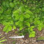 Abies homolepis - Abies homolepis - Japanse zilverspar, Nikkozilverspar