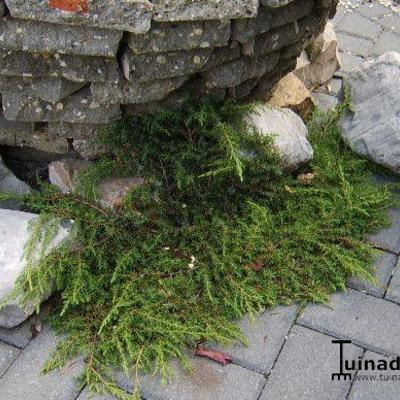 Juniperus communis 'Green Carpet' - Jeneverbes