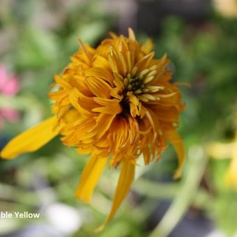 Echinacea 'Double Yellow'