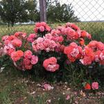 Rosa 'Gebrüder Grimm' - Roos - Rosa 'Gebrüder Grimm'