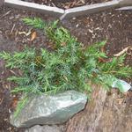 Juniperus conferta 'Schlager' - Jeneverbes - Juniperus conferta 'Schlager'