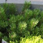 Pinus mugo var. pumilio - Bergpijnboom - Pinus mugo var. pumilio