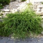 Chamaecyparis pisifera  'Filifera Nana' - Schijncipres - Chamaecyparis pisifera  'Filifera Nana'