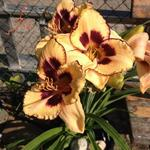 Hemerocallis 'Good Old Boy' - Daglelie