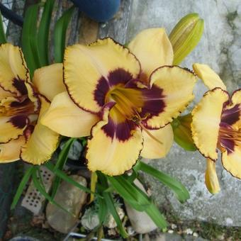 Hemerocallis 'Good Old Boy'