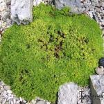 Silene acaulis 'Mount Snowdon' - Alpenlijmkruid - Silene acaulis 'Mount Snowdon'