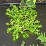 Bacopa caroliniana  - Bacopa caroliniana  - Waterhyssop