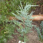 Juniperus scopulorum 'Skyrocket'  - Jeneverbes, rode ceder
