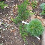 Pfitzer jeneverbes - Juniperus x pfitzeriana 'Mint Julep'
