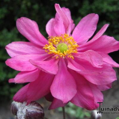 Anemone hupehensis 'PRETTY LADY Julia' -