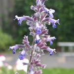 Nepeta grandiflora 'Summer Magic' - Kattekruid
