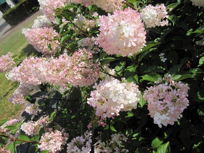 hortensia hydrangea paniculata 39 vanille fraise 39. Black Bedroom Furniture Sets. Home Design Ideas