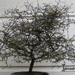 Corokia cotoneaster - Zigzagstruik - Corokia cotoneaster