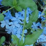 Plumbago auriculata - Plumbago auriculata - Mannentrouw, Loodplant