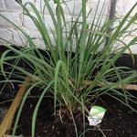 Cymbopogon citratus - Cymbopogon citratus - Citroengras, Citronella