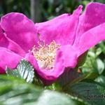 Bottelroos - Rosa rugosa 'Rubra'
