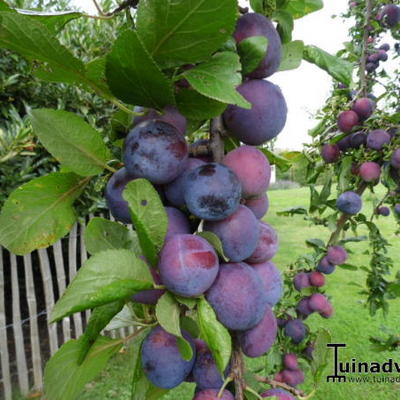 Prunus domestica 'Bleue de Belgique' -