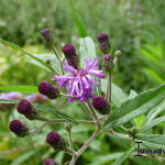 Vernonia - Vernonia crinita 'JS Betty Blindeman'