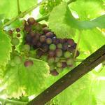 Vitis vinifera 'Regent' - Druif - Vitis vinifera 'Regent'