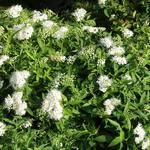 Spierstruik, spirea - Spiraea japonica 'Albiflora'