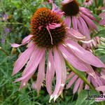 Echinacea purpurea 'Double Decker' - Rode zonnehoed