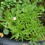 Genadekruid - Gratiola officinalis