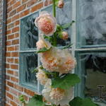 Alcea rosea 'Peaches 'n Dreams' - Stokroos