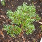 Pinus aristata - Pinus aristata - Pijnboom, naaldenden