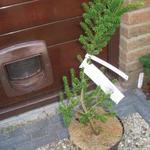 Taxus baccata 'Amersfoort' - Taxus baccata 'Amersfoort' - Venijnboom